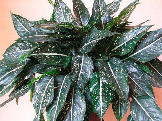 Липкие капли на листьях Аглаонемы