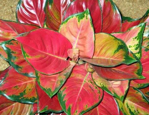 Аглаонема: все нюансы ухода за цветком в домашних условиях фото и видео
