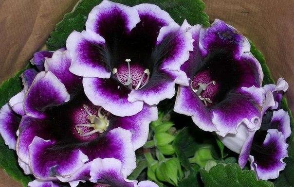 Глоксиния фиолетовая махровая