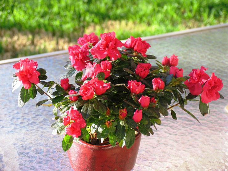 Азалия Оранжевая: характеристика, как выглядит цветок, фото