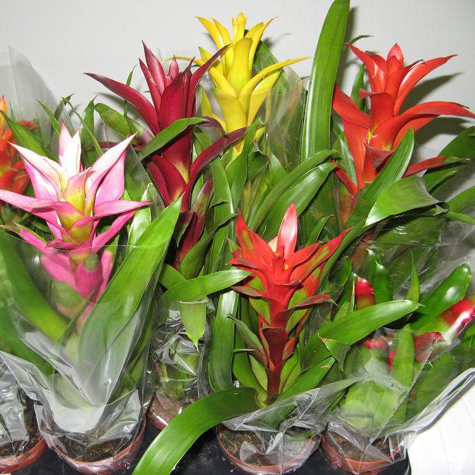 Бромелия микс цветок